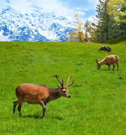 Two alpine ibex grazing on the mountain pasture in Chamonix photo