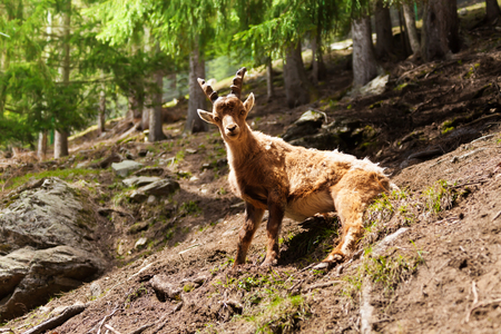 One ibex sitting in the forest in Chamonix at the foot of Mont Blanc photo