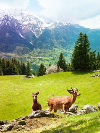 herd deer: Two young deer grazing on the mountain pasture at the foot of Mont Blanc