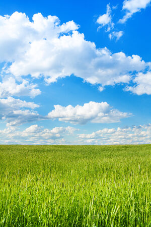 filed: Big wheat green field at spring on sunny day