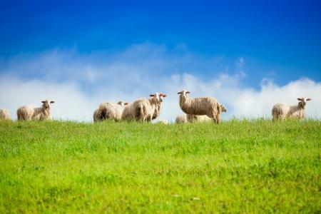 2 つの羊の群れにカメラに立っている青い空を眺めて