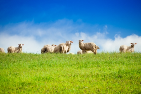 Two sheep looking at camera standing in herd over blue sky