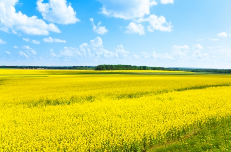 filed: Yellow color flowers fields growing in Eastern Europe on spring sunny day with few clouds