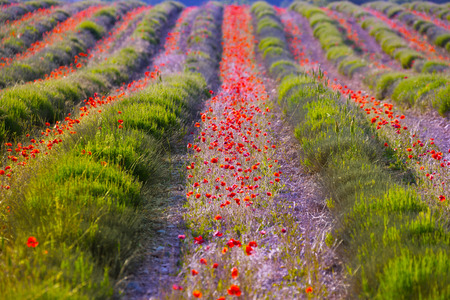 Poppy flowers growing in lavender field rows background photo
