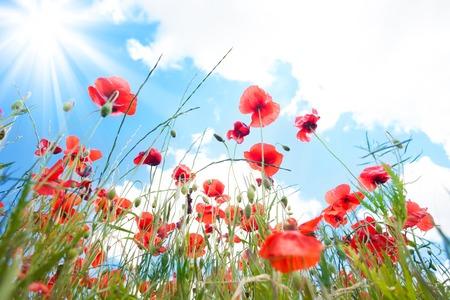 bellow: Flores de amapola en el campo de primavera bajo el �ngulo de disparar desde abajo