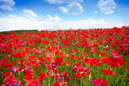 Poppy flowers background goes to horizon on sunny early June day