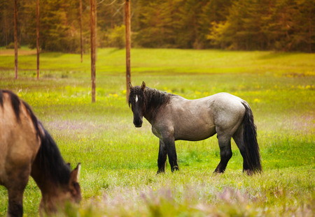 Two beautiful horses standing on the grass near the forest in summer photo