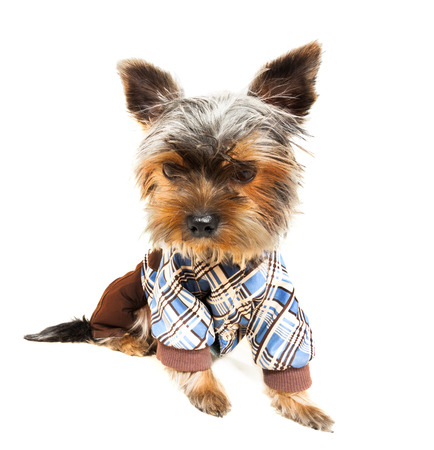 yorky: Beautiful brown cute Yorkshire Terrier in pullover