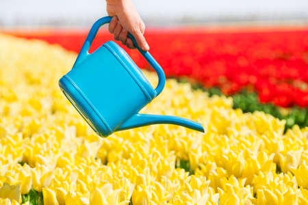 watering pot: Hand holds watering pot and tulip field rows Stock Photo