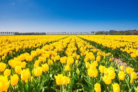 holland landscape: View of yellow tulip rows in summer time