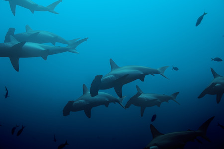 Large school of hammerhead sharks in the blue photo