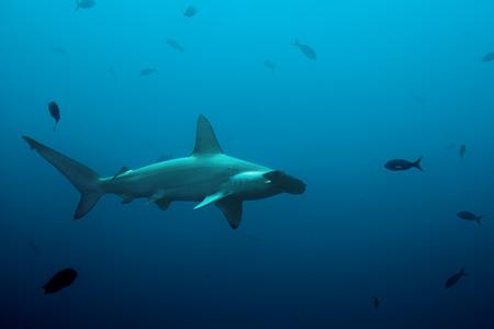 pez martillo: Un martillo tibur�n nadando en el oc�ano