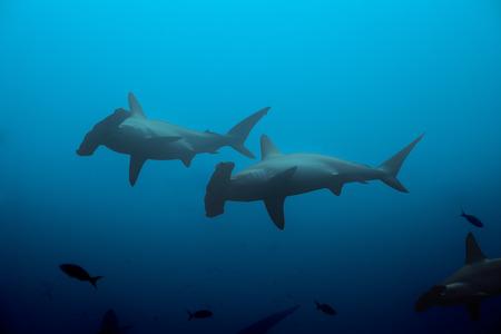pez martillo: Dos tiburones martillo en las aguas azules