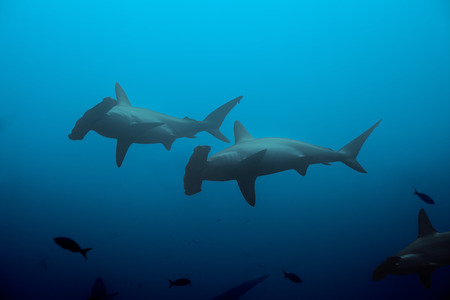 Two hammerhead sharks in the blue waters
