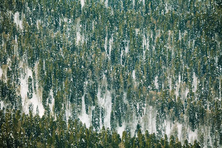 during the day: Fir trees forest covered with snow during day Stock Photo
