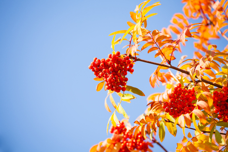 autumn colour: Rowan berries and leaves over blue sky on sunny October day Stock Photo
