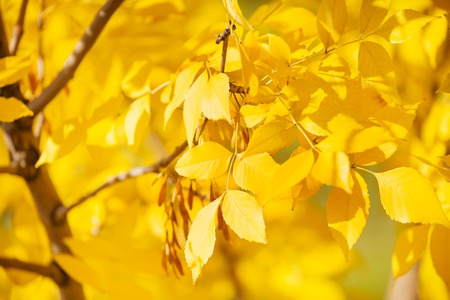 Close up of ash tree yellow leaves in autumn sunny october day