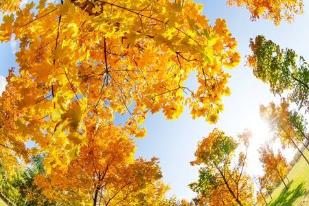 autumn colors: Sky and colorful autumn maple trees in all colors on sunny October day Stock Photo