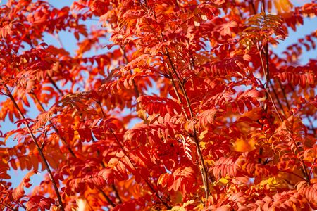 ash berry: Many rowan tree leaves burning red colors background on October day