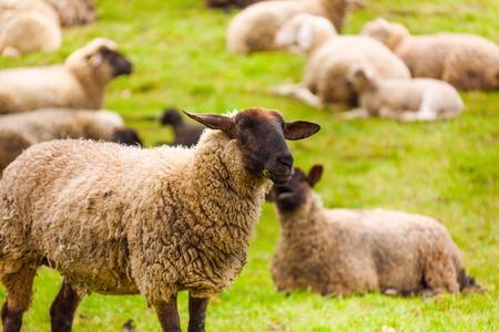 ovejas bebes: Primer plano de ovejas que los pastos en el campo verde durante el verano en Holanda