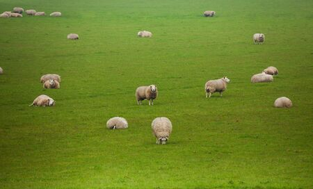 pastures: Many beautiful sheep pasture in the green field during summer in Netherlands