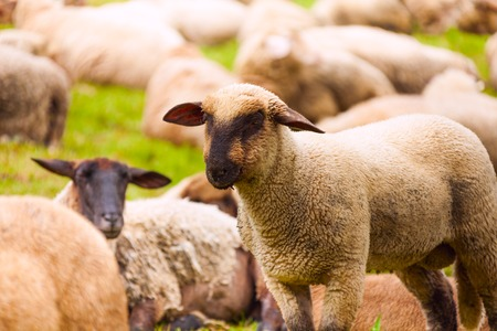 animals together: Close-up view of sheep who pasture in the green field during summer in Netherlands Stock Photo