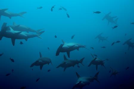 pez martillo: Gran escuela de tiburones martillo en las profundas aguas azules del océano Pacífico