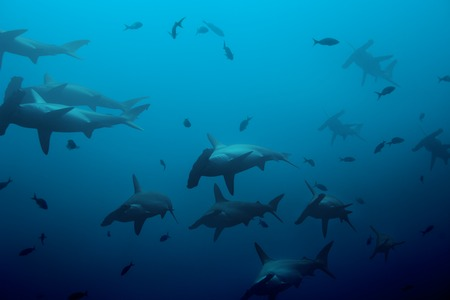 Large school of hammerhead sharks in the deep blue Pacific ocean waters