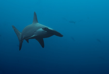 hammerhead: Large hammerhead shark swimming to camera in the deep blue wates