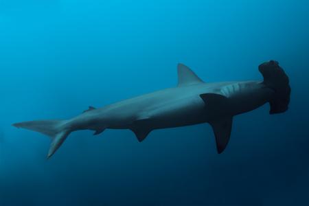 Cierre de tiburón martillo en las aguas del océano azul profundo