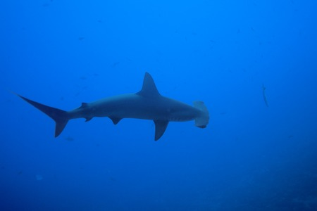 dangerous reef: One hammerhead shark view from above in the bottomless blue waters of Pacific ocean Stock Photo