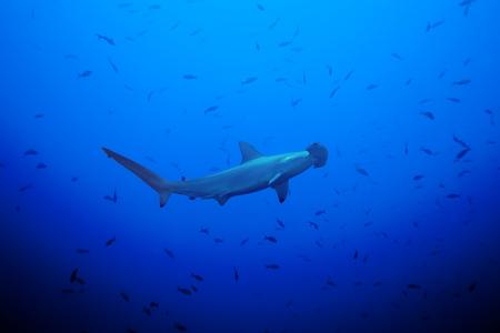 pez martillo: Vista lateral de tiburón martillo en el gran banco de peces pequeños en las aguas profundas del océano