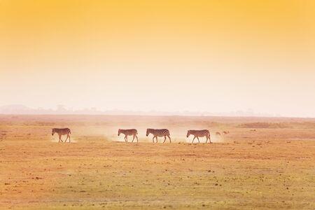 paisaje africano con la manada a pie de cuatro cebras, Kenia, África