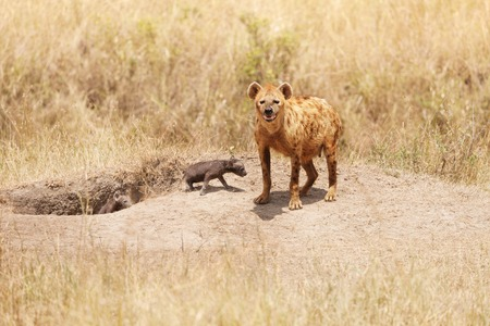 hienas: Female hyena standing with two little pups near their hole, Kenya, Africa