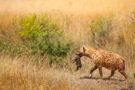 hienas: Manchado hiena hembra recoge su pequeño cachorro por la piel del cuello Foto de archivo