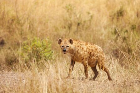 hienas: A spotted hyena, crocuta crocuta, stands alert in dried grass, Kenya Africa