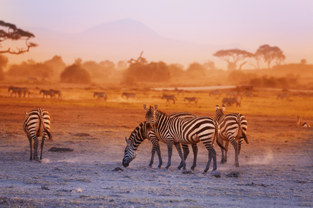 Zebras Herde auf Savanne bei Sonnenuntergang pasturing, Amboseli National Park, Afrika