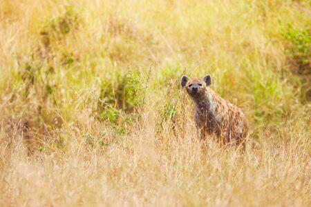 hienas: hiena manchada de caza africana en el césped en Reserva Nacional de Masai Mara Foto de archivo
