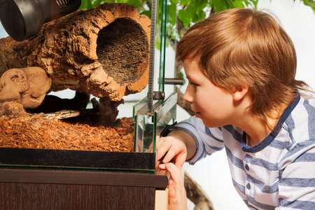 Young boy watching Royal or Ball python at the reptile house terrarium  standing close to the glass Фото со стока
