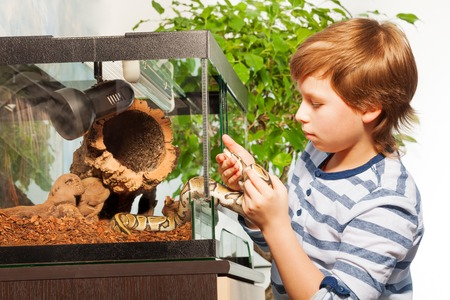 ball python: Brave young boy getting Royal or Ball python out of terrarium and playing with it Stock Photo