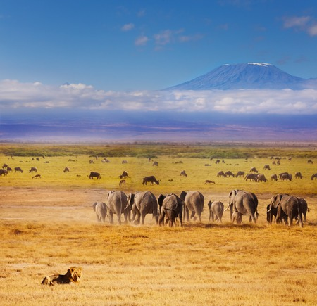 Beautiful view of African lion watching over elephants and wildebeests during Great migration with Kilimanjaro at the background Stock Photo