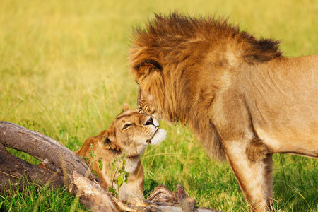 Portrait of beautiful lion and lioness cuddling at African savannah