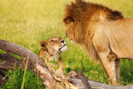 Portret van mooie leeuwin die op groen gras legt en leeuw bekijkt