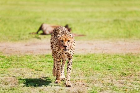Portrait of wild cheetah walking after feasting at African savanna, Kenya Stock Photo