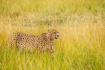 Side view portrait of African cheetah walking in the high grass, Masai Mara National Reserve, Kenya