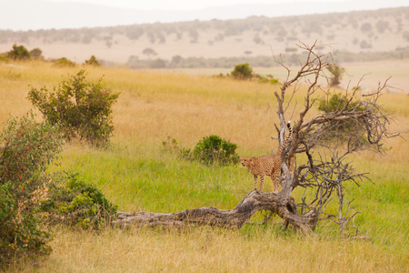 African cheetah standing in a distance on a dead tree at savanna, Masai Mara National Reserve, Kenya Stock Photo