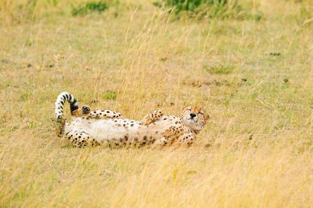 voracious: Female cheetah basking in the sunshine laying on dried grass, Masai Mara National Reserve
