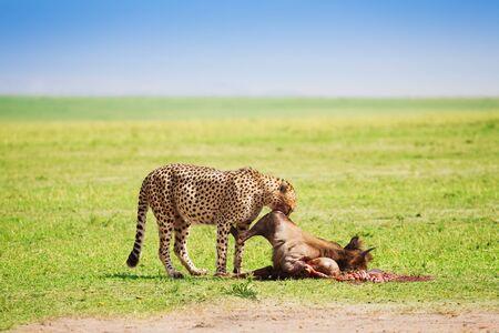 African cheetah eating wildebeest kill, Masai Mara National Reserve, Kenya