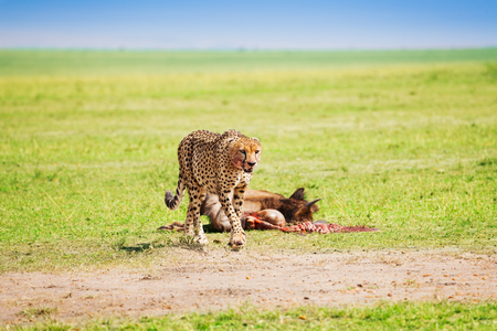 spotted fur: Portrait of African cheetah after feasting on wildebeest kill, Masai Mara National Reserve, Kenya Stock Photo