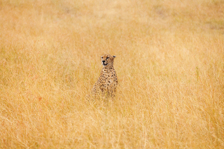 voracious: Portrait of African cheetah sitting in the distance in high dried grass, Masai Mara National Reserve, Kenya